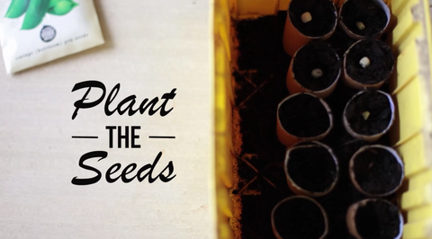 Planting seeds in toilet roll planters