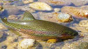Rainbow Trout Devon