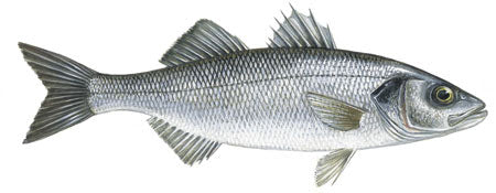 Sea Bass Devon