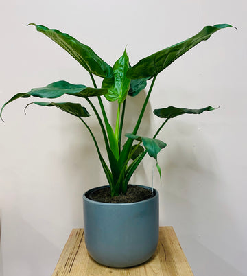 Another Alocasia.....