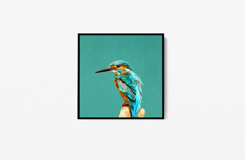 Kingfisher In Square - Turquoise Kingfisher Framed Canvas Wall Art