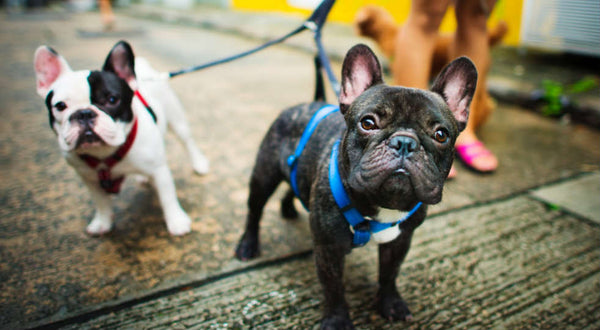 Everything You Need to Know about the French Bulldog