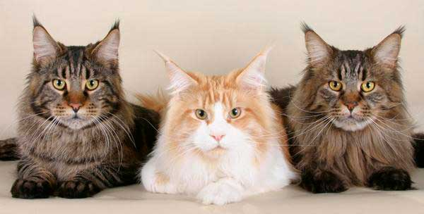 Maine Coon, The Definitive Guide