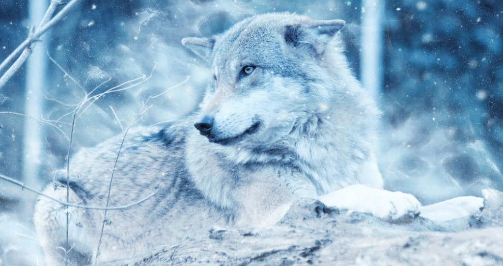 Wolf Dog Hybrid Breeds: The Definitive Guide (2019)