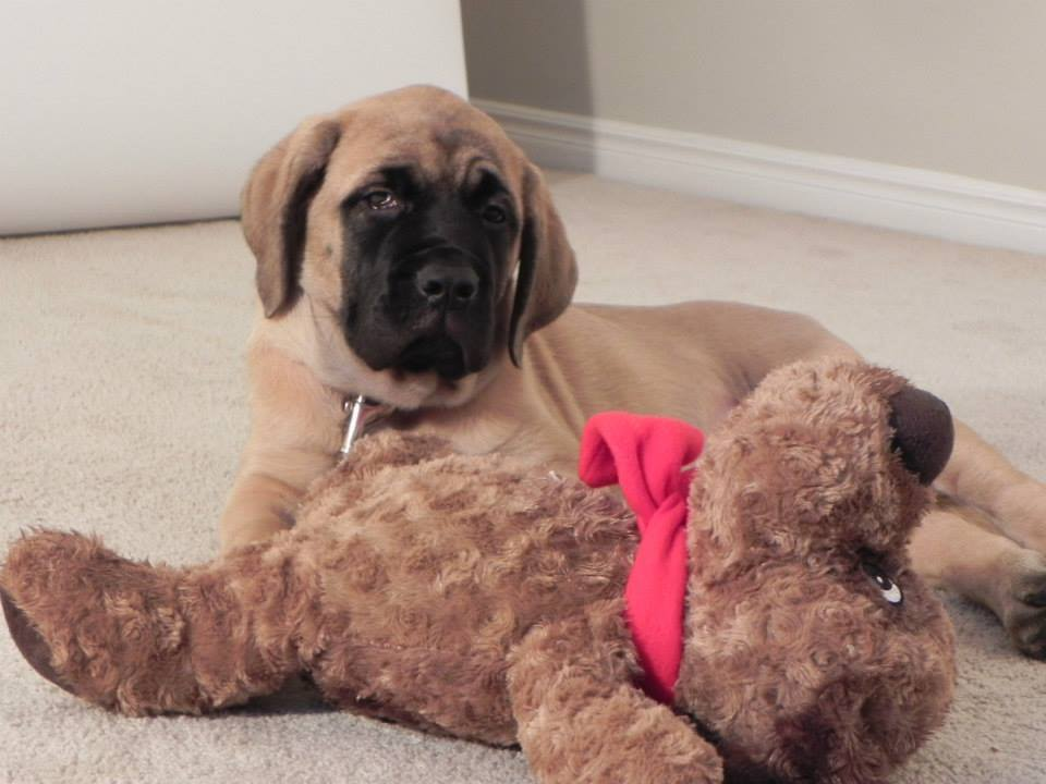 English mastiff puppy 12 weeks old