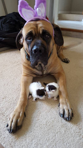 English mastiff with kittens