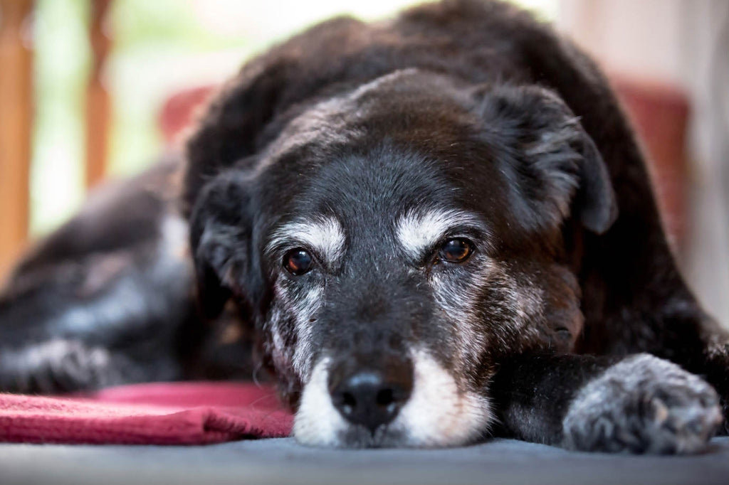 care for senior dogs