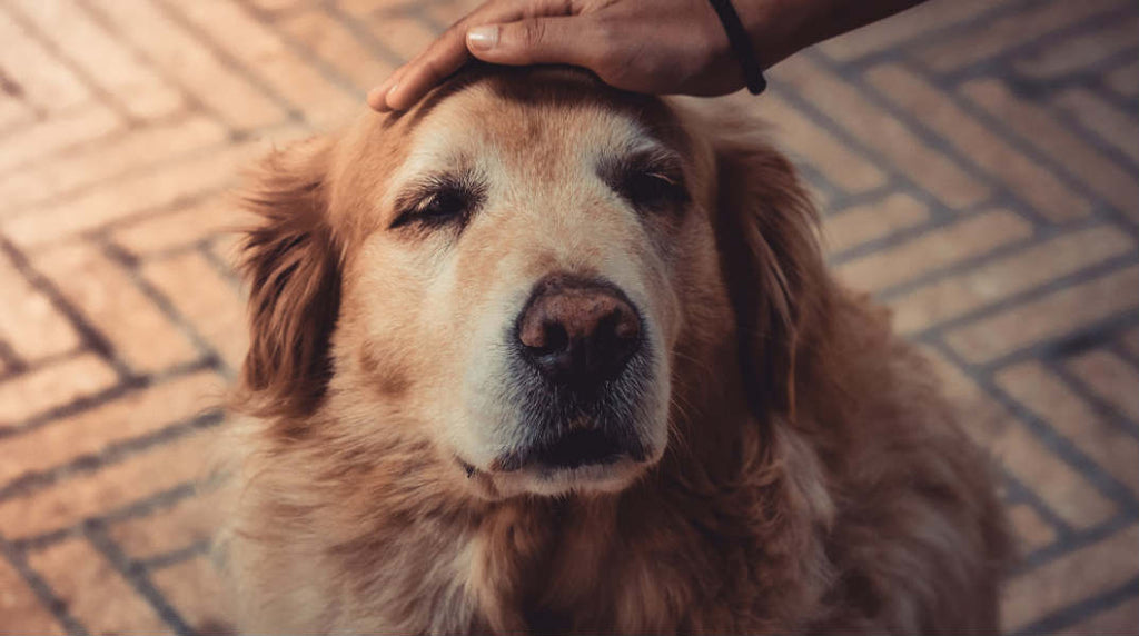 care for senior dog