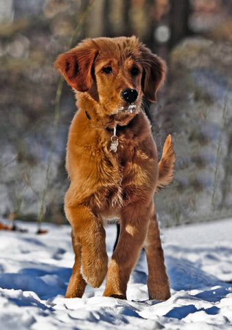 Everything You Need to Know about Red Golden Retriever(2019