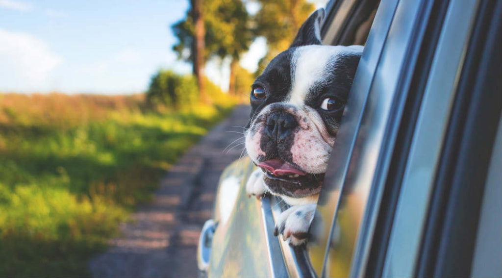 travelling dog with car