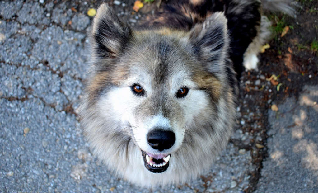 Wolf Dog Hybrid Breeds: The Definitive Guide (2019) – Pet Pet Buy
