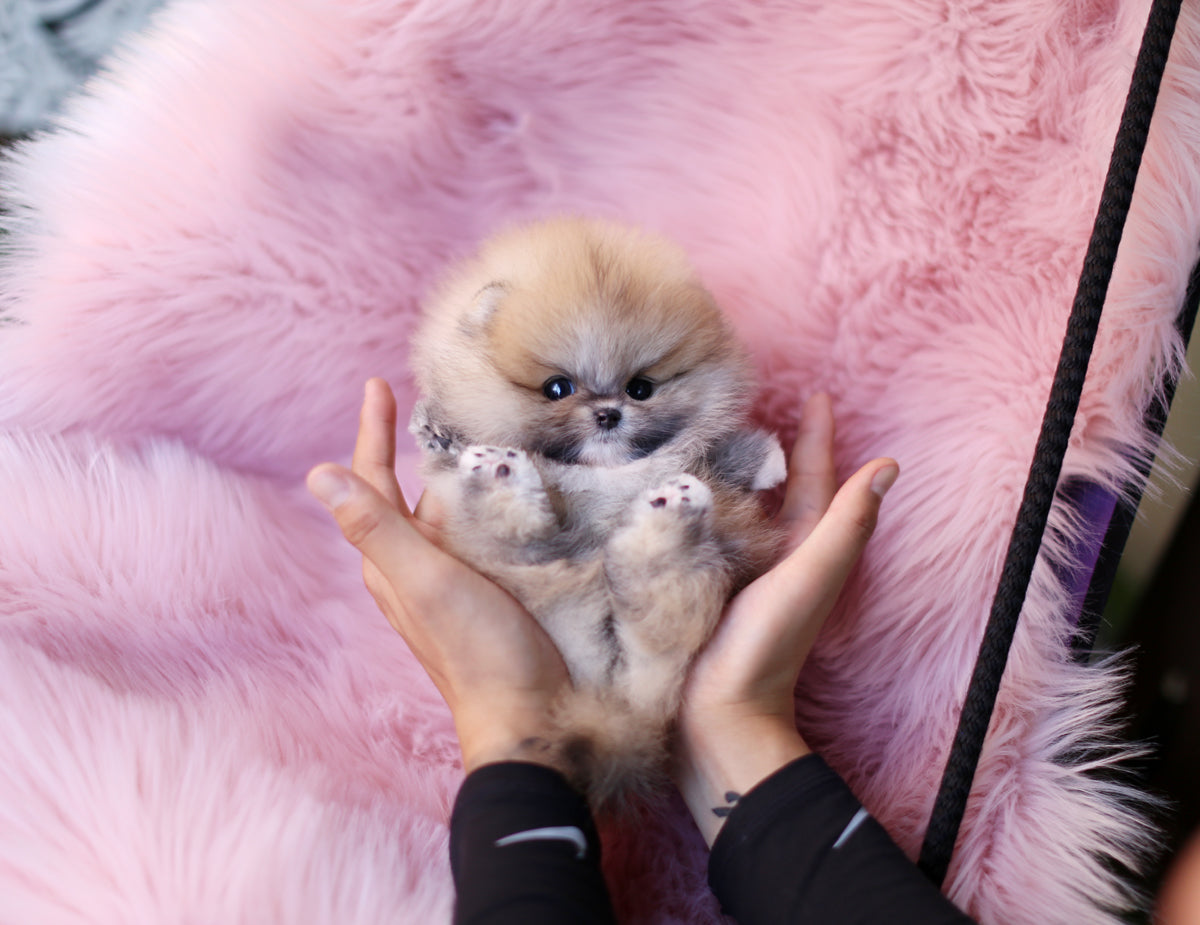 Teacup Puppies for Sale | Teacup Puppy | Miniature Toy Dogs | Foufou