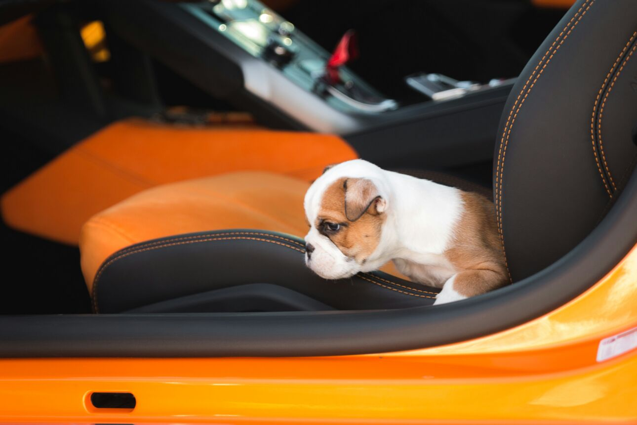 French Bulldog puppy at car