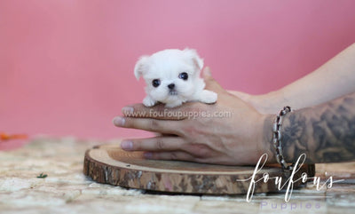Teacup Maltese for Sale | Mini Toy Maltese Puppies | Foufou Puppies