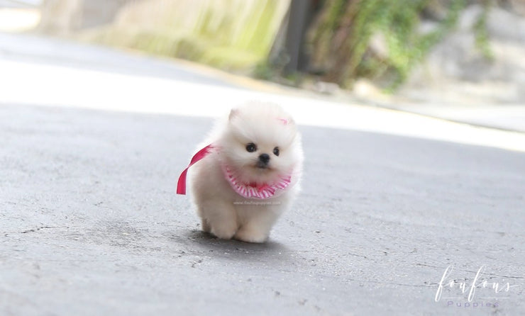 Cotton Candy - Pomeranian F.