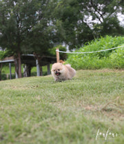 Cookie - Pomeranian F.
