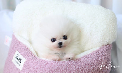 Holly - Pomeranian F.