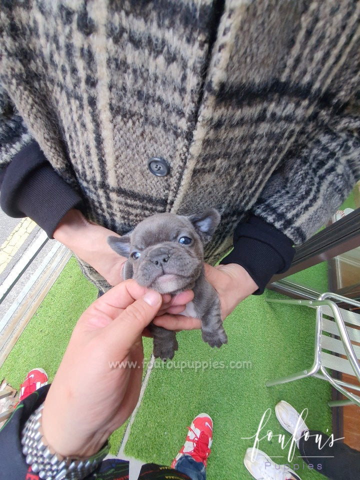 Nala - French Bulldog