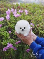 Ace - Pomeranian M. SOLD TO MRS. BOURI
