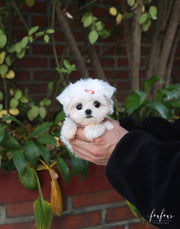 Willow - Maltese F.