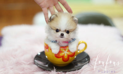 Teacup Puppies for Sale | Teacup Puppy | Miniature Toy Dogs