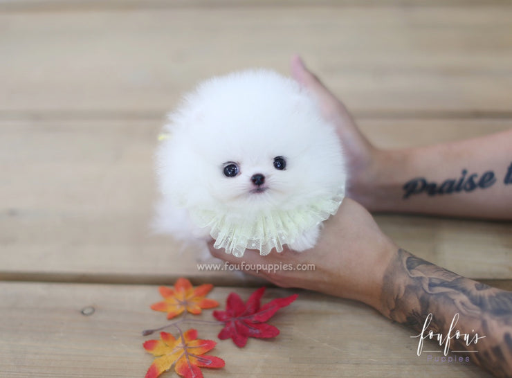 Cotton Candy - Pomeranian M.