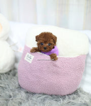 Sweetie - Poodle F.