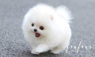 Lollipop - Pomeranian F.