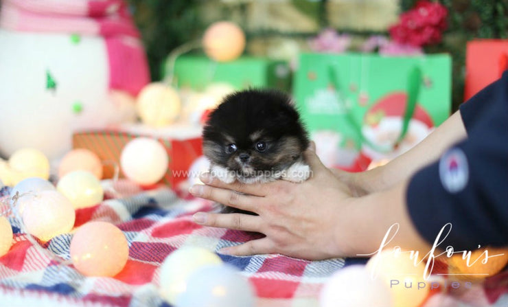 Chia - Pomeranian F. (RESERVED)