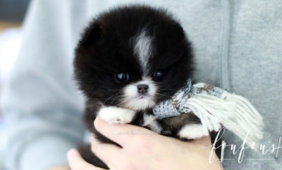 Kisses - Pomeranian F.