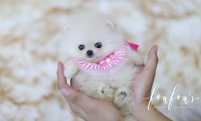 Teacup Pomeranian Puppies for Sale | Micro Toy Pomsky