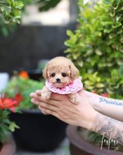 Daisy - Poodle F.