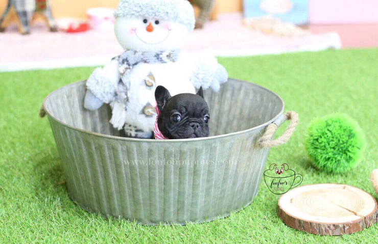 Duke-French Bulldog M.