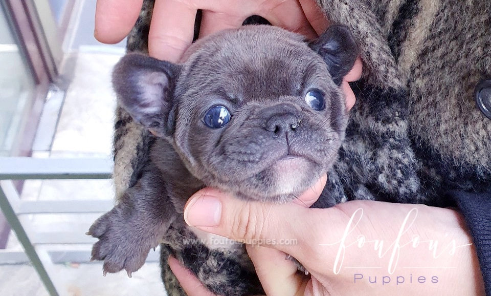 Teacup French Bulldog Puppies For Sale Mini French