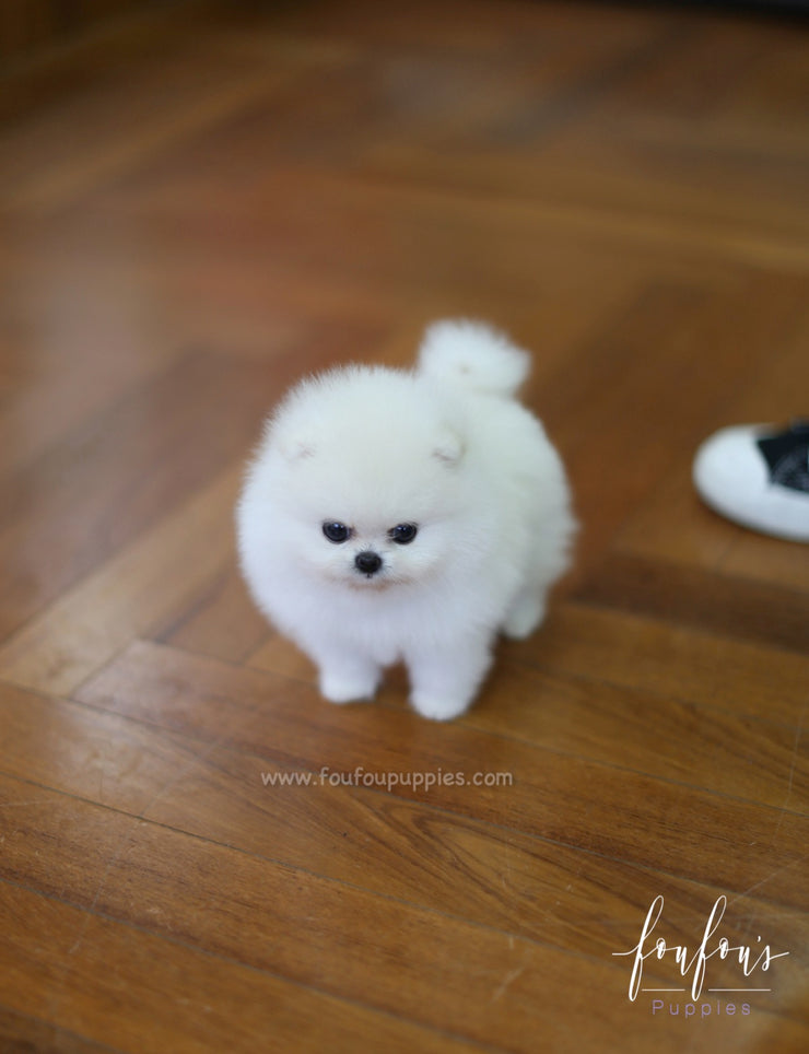Cotton - Pomeranian F.