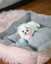 Moana - Maltese F. RESERVED FOR LESLIE