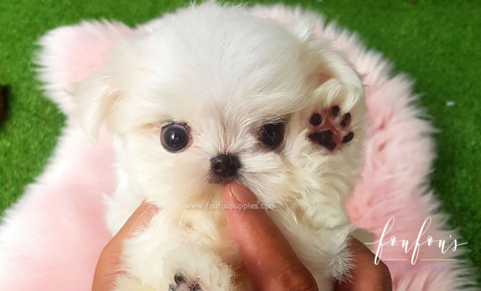 Teacup Maltese for Sale | Mini Toy Maltese Puppies | Foufou