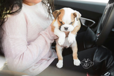 Noah - Bulldog Mini M.