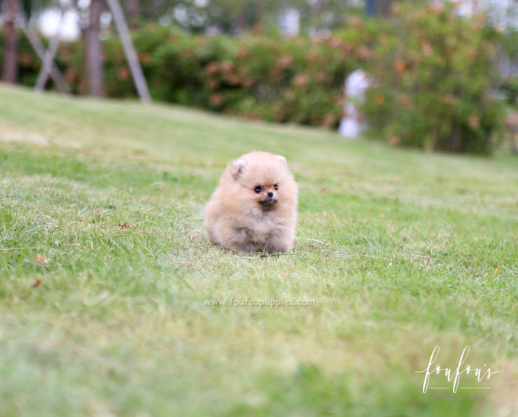 Honey - Pomeranian F.
