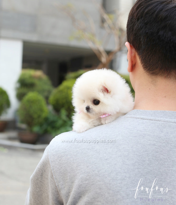 Willow - Pomeranian F.
