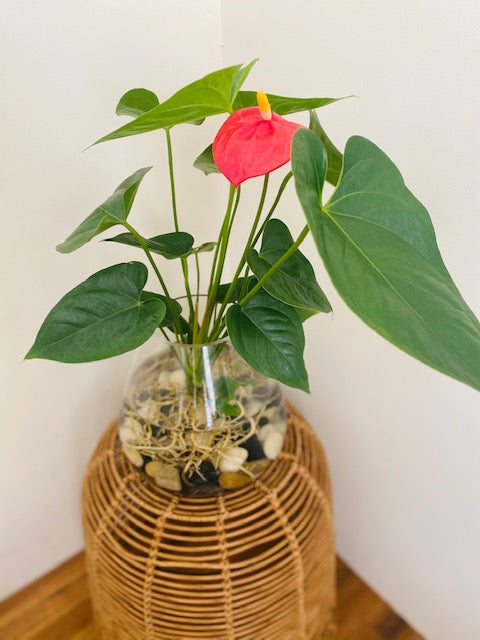 Anthurium Bare Rooted in a Glass Vase with Polished River stones