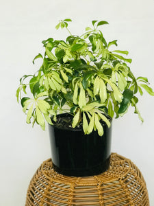 Variegated Schefflera - (Umbrella Plant)