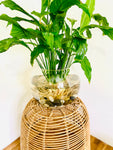 Peace Lily Bare Rooted with Glass Vase and Polished Stones