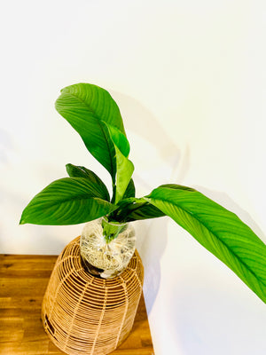 Spathiphyllum Sensation Bare Rooted in a Glass Vase with Polished Stones