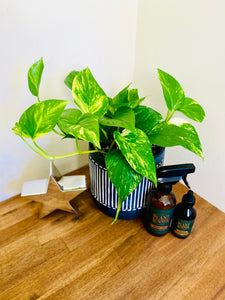 Devil's Ivy Bundle with Concrete Black and White Striped Pot, Neem Oil and Plant Food