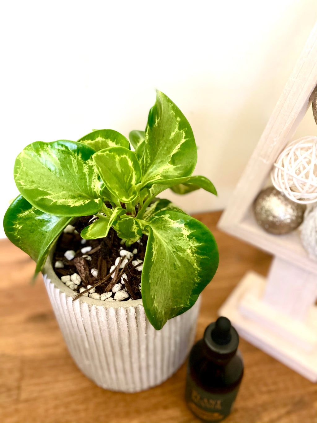 Peperomia Green Gold Bundle with Plant Food