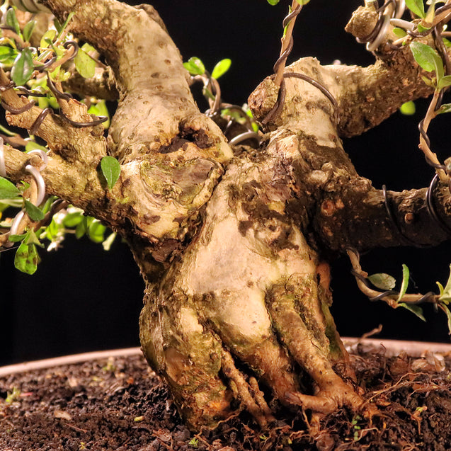 Bonsai Carmona Microphylla 14.1484 - kebunbibit