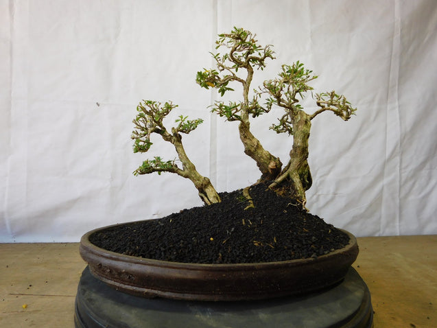Bonsai Serissa Foetida Triple Trunk 12.691 - bonsaiupdate