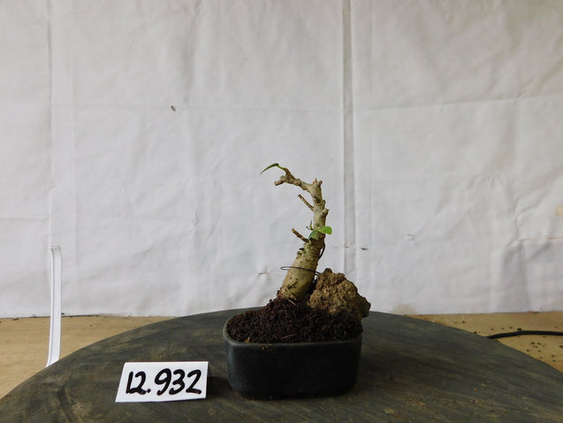 Bonsai Ficus Microcarpa 12.932 - kebunbibit