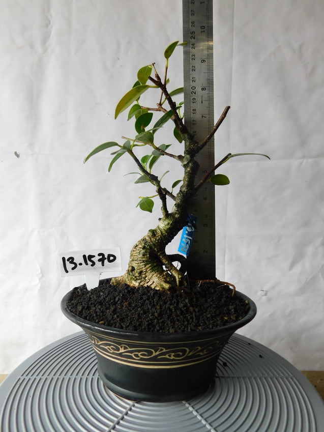 Bonsai Ficus Microcarpa 13.1570 - kebunbibit